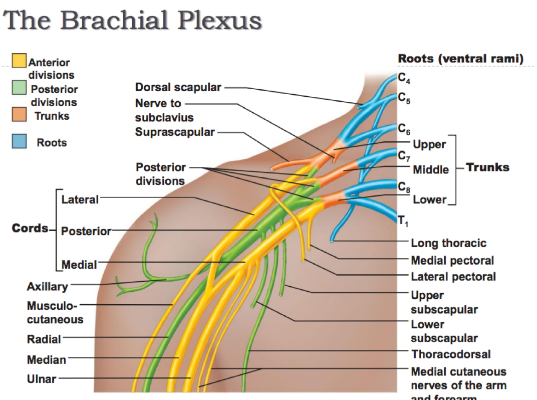 Anatomy of the Brachial Stun